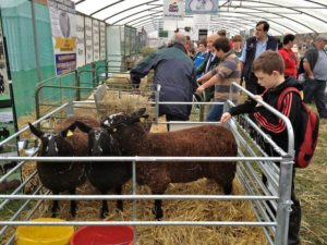 A Young Farmer Testing Condition of Zwartbles Cross Ewe Lambs