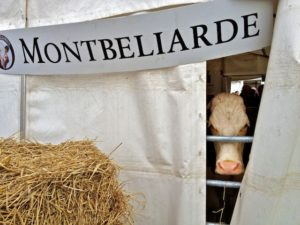 A Montbelliarde Peering Through a Hole in Her Tent
