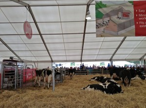 The Dairy Ladies Didn't Seem to Mind Continuing to Sleep, Eat & Get Milked When The Feeling Mooooved Them