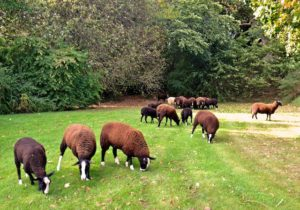 Zwartbles Lawn Mowers at Work