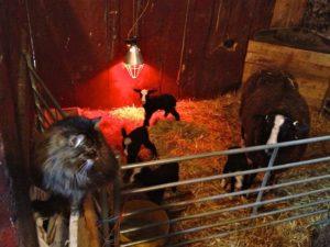 Lambing Supervisor
