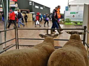 Sheltering From the Rain with some Sheep Watching People Walking By