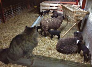 Lamb Head Counter