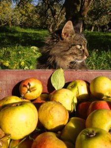Helps Collect Crates of Cider Apples