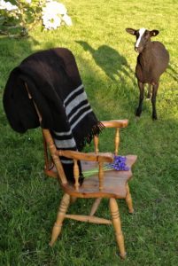 A Zwartbles Sheep Transfixed by Her Fleece Transformed into a Blanket