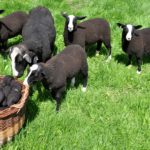 A Zwartbles Ewe Introduces the Lambs to Yarn Spun from Their Mother's Fleeces
