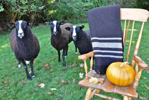 Zwartbles Ewes Posing With a Zwartbles Travel Rug