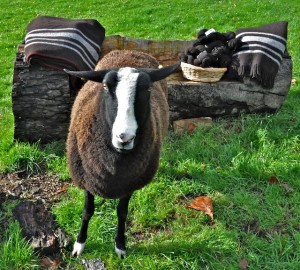 Pippy Posing With all our Zwartbles Ireland Products