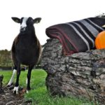 Pippy Proudly Standing Next to a Zwartbles Blanket