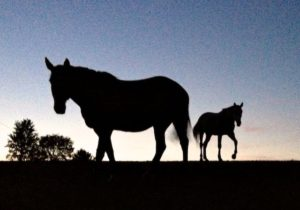 Horses Come to talk in the Dusky Evening of a Hot Day