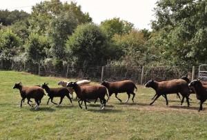 Ewe's Galloping to the Yard
