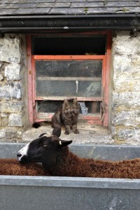 Bodacious the Cat Shepherd Always Ready to Assist