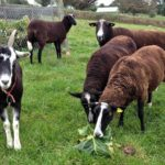 Cheeky Zwartbles Stealing the Goats Cabbage