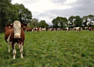 Montbéliard Dairy Herd