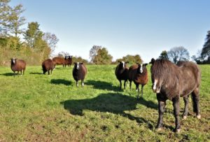 """""""Can I be an honorary Zwartbles Sheep?"""" asks Marco Polo the pony"""