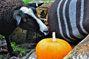 A Ewe Inspects a Zwartbles Woollen Blanket