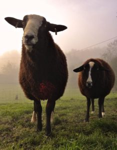 The Welchman on Left With one of His Flock of Ewes