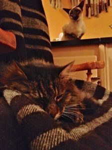Mr.B has claimed the cozy Zwartbles woollen blanket while Casper can only look on with envy.