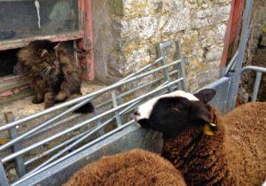 Sheep still get foot baths while the cat shepherd chats to them