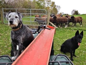 Bringing in the feed troughs as grass proteins fall due to frost damage. My lazy assistants refuse to open the gate