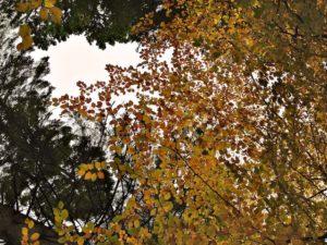 Woodland leaves looking into gray Irish sky but still