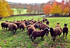 My whole flock of 33 Zwartbles ewes, hoggets & lambs in 1 photo