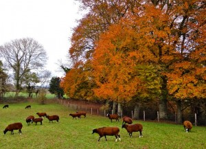 Some beautiful Autumnal colour in our Irish trees edging our Zwartbles fields