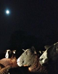 Feeding sheep by quad & full moon light
