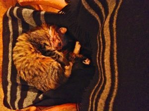 Cozy cat curled up sleeping on a Zwartbles blanket. Winter is chilling so buy your own all natural Winter warmer