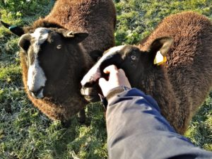 Ques of Ewes Wanting a Chin Scratch