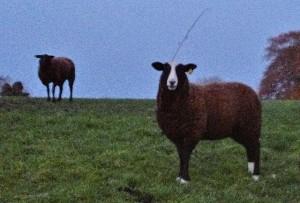Ewes Decide to Get Wrapped Around Brambles