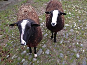 Rams Ready For Turning Out