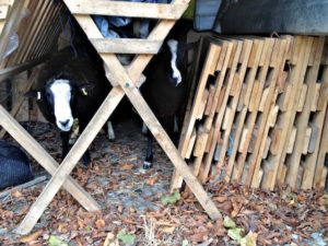 Ram Hiding From Me in Amongst Stacked Lambing Hurdles