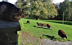 Ever watchful cat shepherd counting his sheep