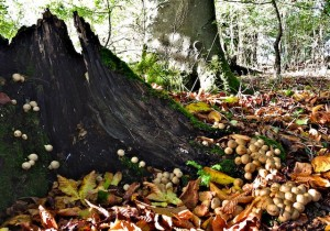 100's of baby puffball mushrooms all over the woods.