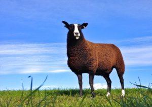 Zwartbles Ewe