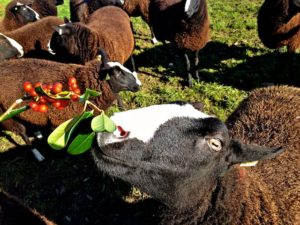 The Zwartbles Blanket model is a bit keen on eating the props.