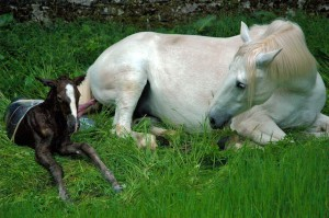 Finally the hind legs have slid out so only the umbilical cord attaches mare to foal