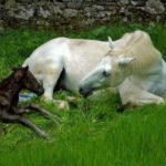 Mare & Foal still attached but they greet each other nickering
