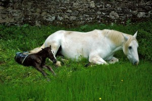 Mystic pauses to rest from the trauma of being born while Silver also rests eating more grass