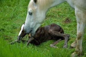Licking stimulates the foal to try and stand as well as dry her off