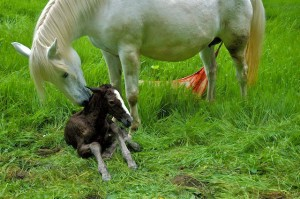 Nuzzling & nipping the foal while the placenta still hangs on.