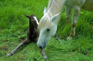The mare nibbles the foals knees encouraging it to make the effort to stand