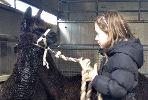 Paul's Daughter is Quite the Alpaca Trainer