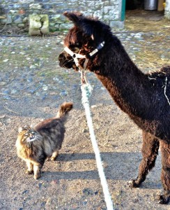 Let's just make 1 thing clear at the start!! I might be down here & your Alpaca self is up there but I'm the boss
