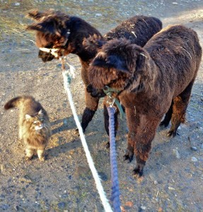 Seriously lads I'm the Boss so no messing Alpaca or not this is Cat Shepherd rule on this farm!!