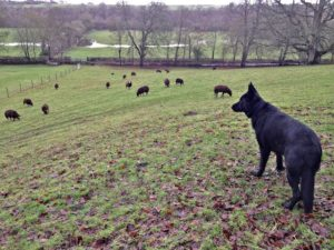 The Big Fellow Looking Over His Flock