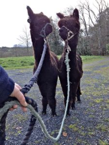 Halter Training & Learning How to be Lead