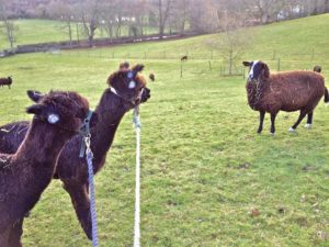 "A Zwartbles Ewe in shock ""What in God's name are those?"""