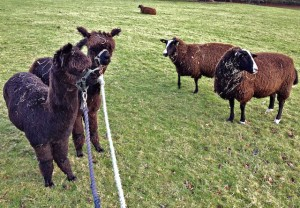 """Hay Zwartbles ladies come and have a look at these funny looking long necked yokes!!!"""